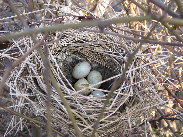 January nest with eggs