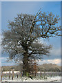 TG3006 : Frost-covered old oak tree on field boundary, Surlingham by Evelyn Simak