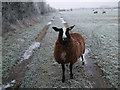 SU2096 : Black sheep, Thames Path, Manor Farm, Upper Inglesham by Vieve Forward