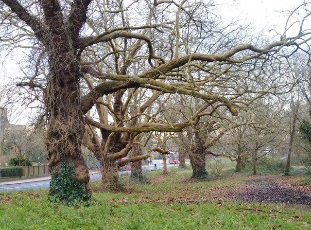 Plane trees on the edge of Putney Heath