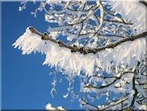 TL8063 : Hoar frost on a branch by Bob Jones
