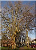 SX9164 : Plane trees, Torquay by Derek Harper