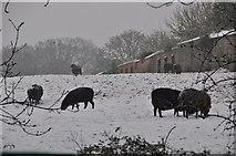 SS9712 : Tiverton : Sheep Grazing by Lewis Clarke