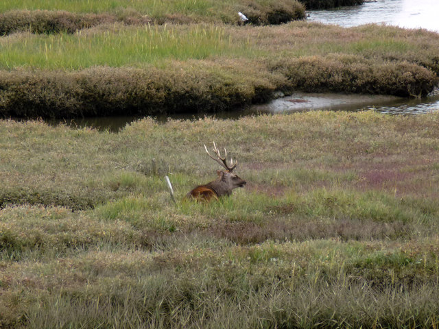 Sika stag on the salt marsh north of Shipstal Point
