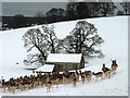 SD4980 : Fallow deer in a snowy Dallam Park, Milnthorpe by Karl and Ali