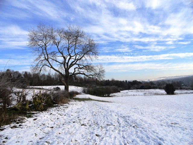 Hedgerow trees in winter