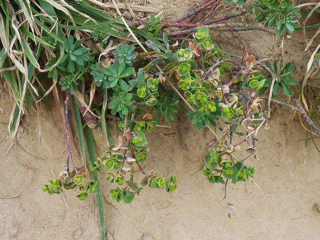 Portland spurge (Euphorbia portlandica)