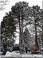 ST3087 : Snowy trees, Belle Vue Park by Robin Drayton