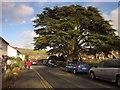 SX8177 : Cedar tree, Bovey Tracey by Derek Harper