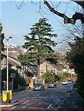 TQ3473 : Conifer, Underhill Road by Stephen Richards