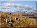 SD2098 : Herdwick sheep grazing on Ulpha Fell by Karl and Ali
