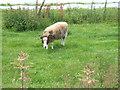 TG1631 : Jacob sheep near the walled garden by Barbara Carr