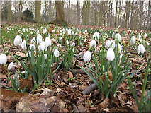 SE7170 : Snowdrops and leaf litter by Pauline E