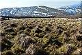 NT2026 : Grass tussocks on Redsike Head by Jim Barton