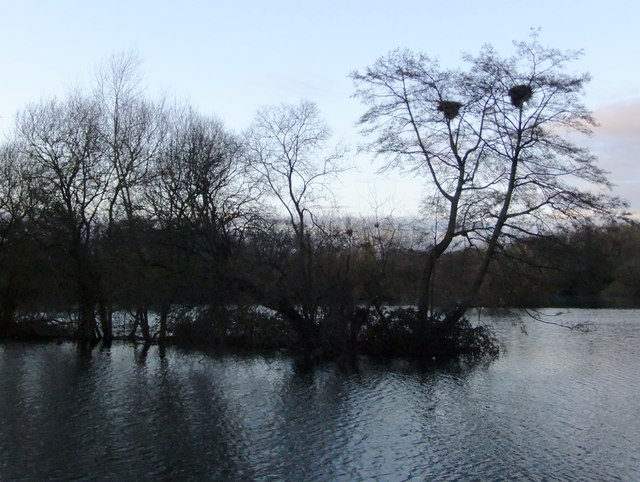 Little Britain Lake: herons' nests in alders