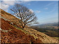 NS9298 : Tree on the southern slope of the Ochils by Alan O'Dowd
