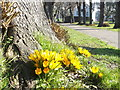 TQ7868 : Crocuses, Lime Walk, Gillingham by David Anstiss