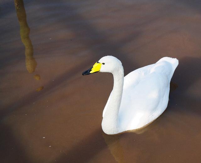 Whooper Swan, Castle Espie