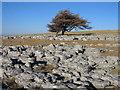 NY6509 : Lonely Trees by Rude Health
