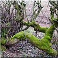 SK4948 : Moss covered branches by David Lally