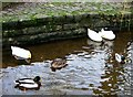 TQ0747 : Ducks in Tilling Bourne, Shere by nick macneill