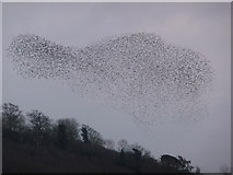 SO5158 : A murmuration of Starling at Leominster by Jeremy Bolwell