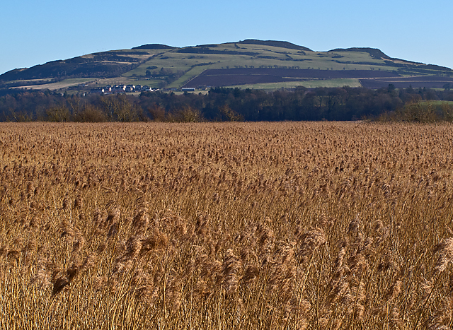 Reedbeds by the River Tay