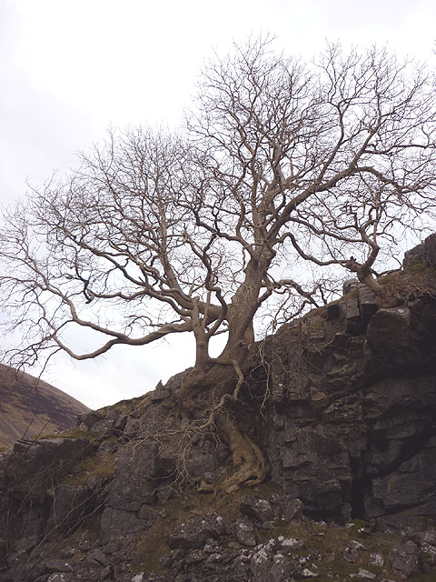 Large ash tree, Short Gill