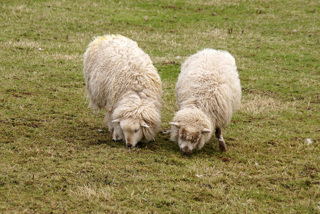 Shetland sheep, North Collafirth