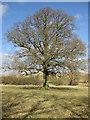 SE7168 : English oak by Pauline E