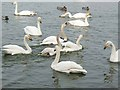 NY0565 : Whooper Swans at Caerlaverock by Oliver Dixon
