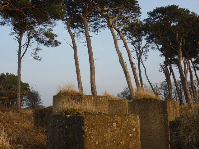 Coastal East Lothian : Pines And Blocks at Hedderwick