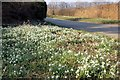 SJ3459 : Snowdrops at Honkley by Jeff Buck