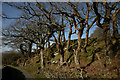 SH5837 : Trees Beside the Bridleway, Portmeirion, Gwynedd by Peter Trimming