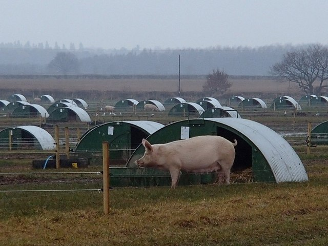 Field with pigs