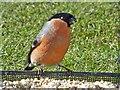 SO1107 : Male Bullfinch, Rhymney by Robin Drayton