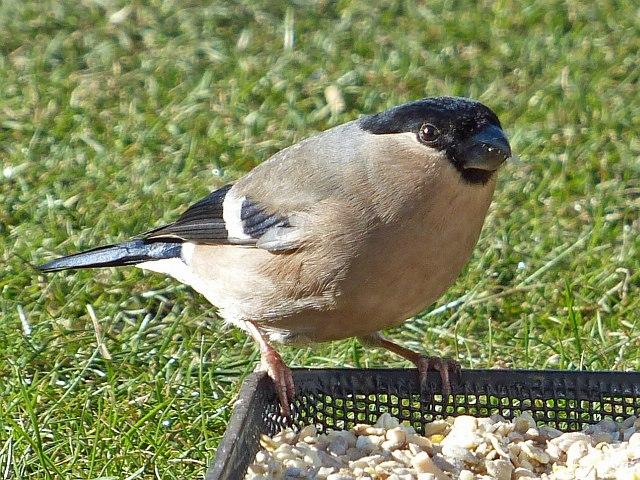 Female Bullfinch, Rhymney
