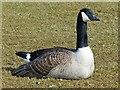 SO1210 : Canada Goose, Bryn Bach Park by Robin Drayton