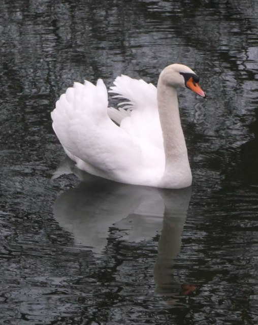 Mute Swan, Hollow Pond