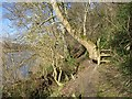 NT9048 : Riverside path between Horncliffe and Norham by Richard Webb