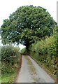 ST3296 : A mighty oak dominates the lane from Tre-herbert Road to Sor Brook by Jaggery