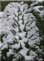 SX9265 : Snow on fern, Tessier Gardens by Derek Harper