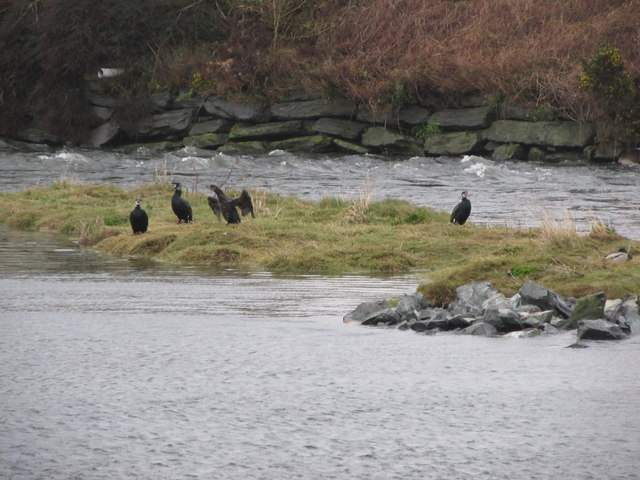 Cormorants at Castle Island Park Boating Lake