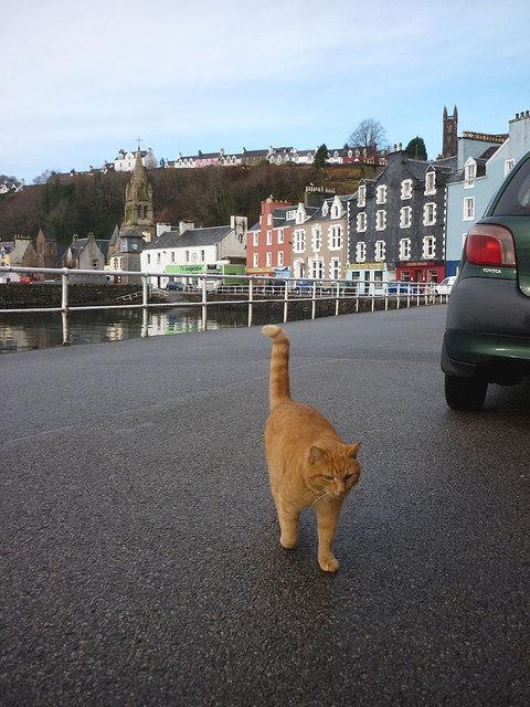 'Ledaig', the world-famous Tobermory Cat