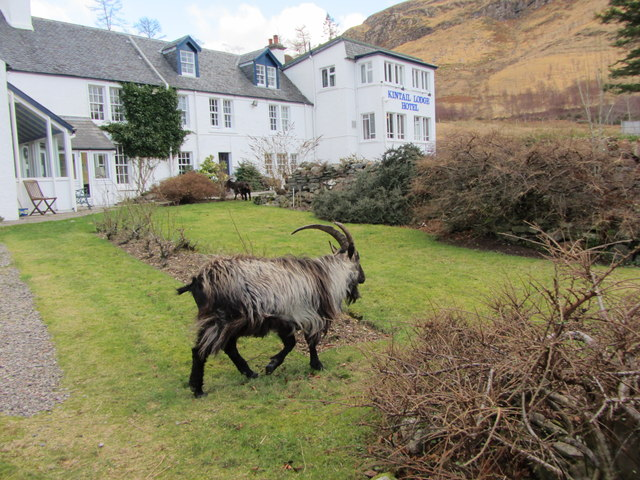 Feral goats at Kintail Lodge Hotel