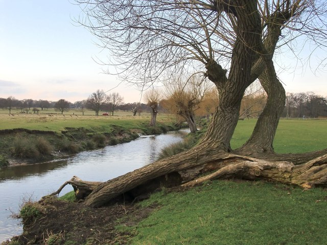Pollard willows by Beverley Brook, March 2013