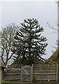 TQ6311 : Monkey Puzzle Tree, Church Road, Herstmonceux by J.Hannan-Briggs
