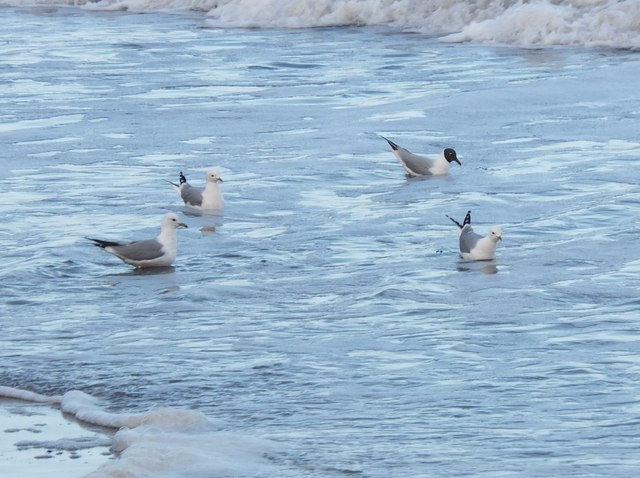 Common Gulls, Meadow Haven