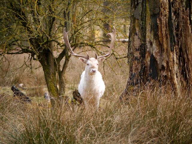 White Stag, Dunham Massey