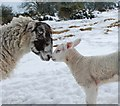 SJ3201 : Ewe and her lamb by Dave Croker